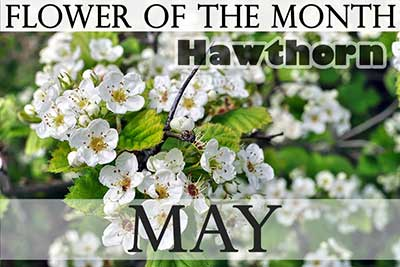Birth Flower of May