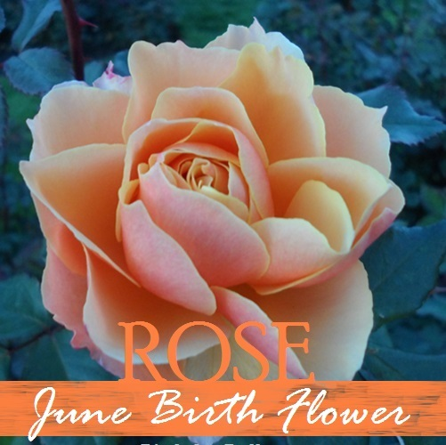 June Birth Flower Rose