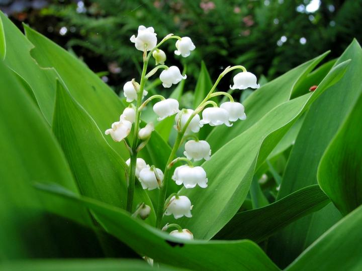 May Birth Flower Lily of The Valley