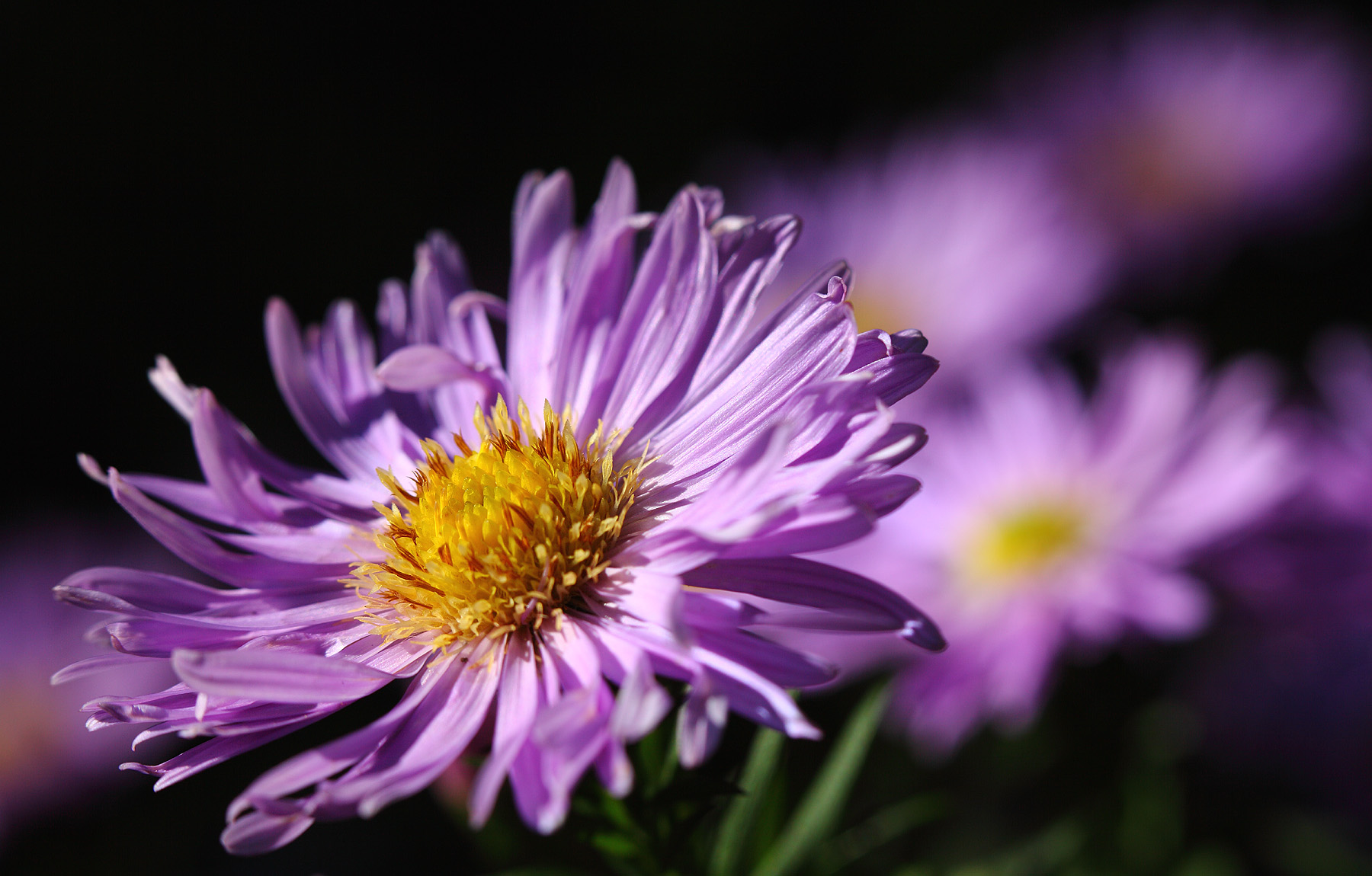 Birth Flower September Aster