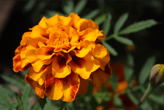 Marigold October Month Birth Flower