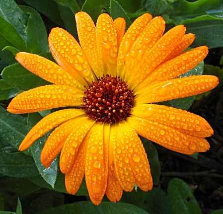 Month of October Birth Flower Calendula