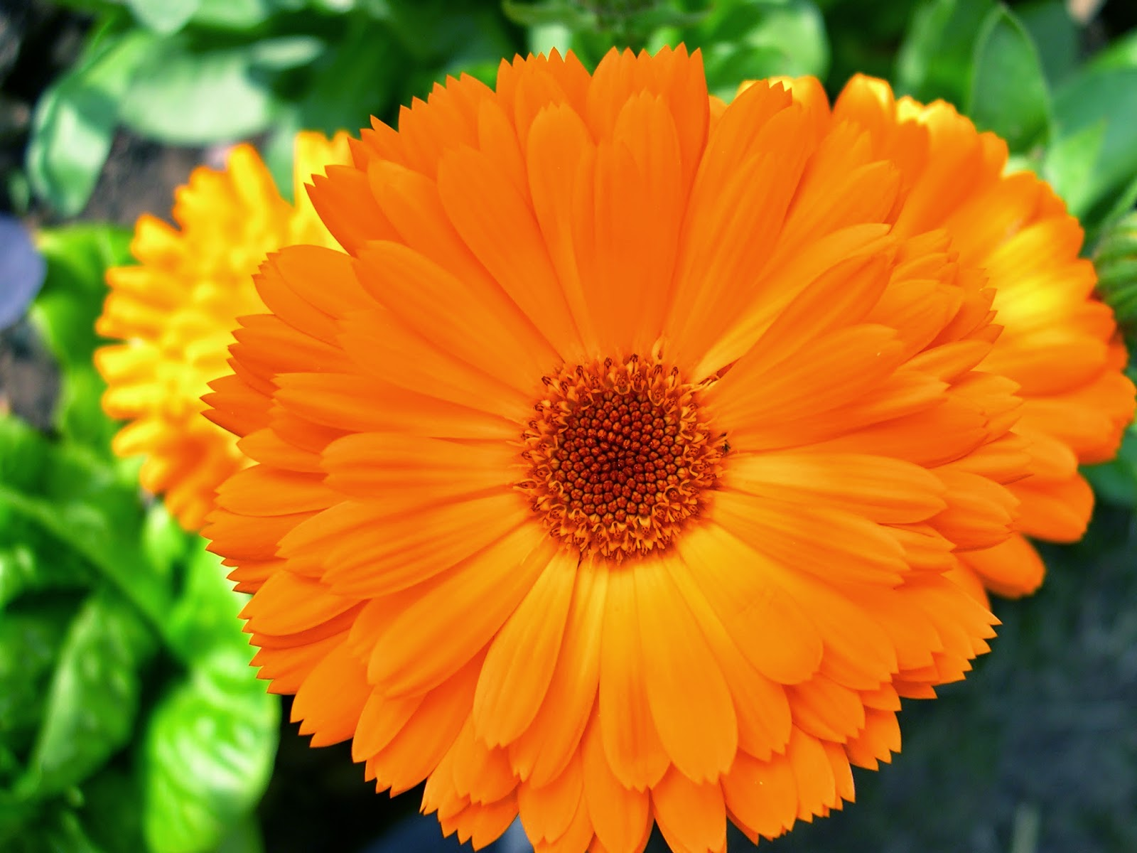 October Birth Flower Images